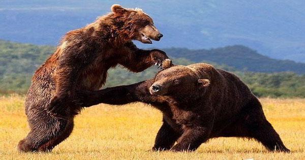 สัตว์สู้กัน
