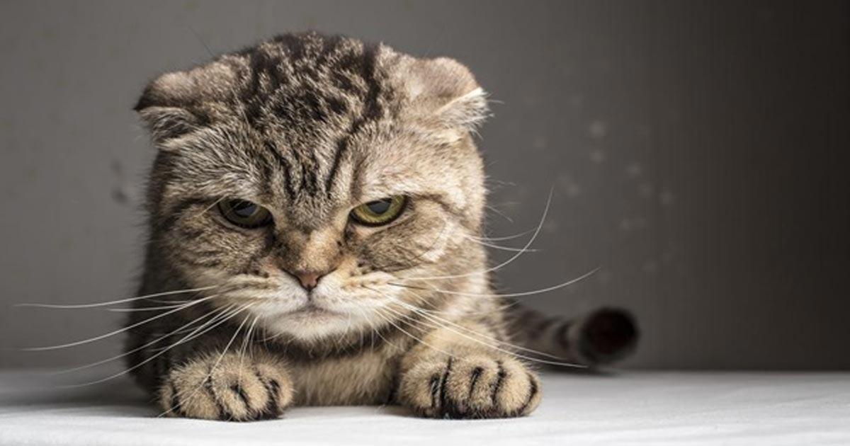 โรคของแมว